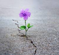 Flower growing out of pavement
