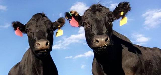 Two cows looking at you